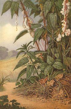 """CUSCUTA: """" Usura""""-------Cuscuta europaea  Lithograph 1892 Antique"""