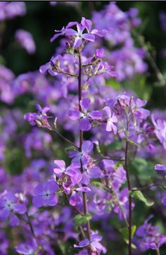 A new plant variety on the market is Lunaria annua 'Corfu Blue'. Despite its name, this honesty is at least semi-perennial. It is in full flower now (March 2014) and is really appreciated by the small tortoiseshell butterflies. Lunaria 'Corfu Blue'