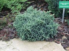 Juniperus squamata 'Blue Star' - der blaue Sternwacholder Juniperus Squamata, Evergreen, Shrubs, Grass, Garden, Flowers, Plants, Blue, Star