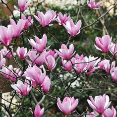 Magnolia 'Heaven Scent'(Large Plant) - Large Potted Plants - Thompson & Morgan