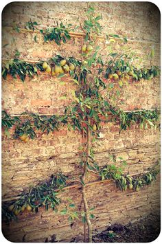 Espalier Fruit trees conserve space, soften surfaces, and fruit beautifully.