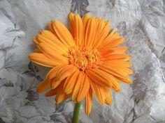 pomarańczowa gerbera