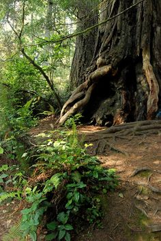 {Reverie Of An Old Soul Photography} #Oregon #Redwood #tree