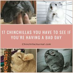 17 Chinchillas You Have To See If You're Having A Bad Day