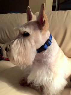 Augie the Scottie Cairns, Terrier Dogs, Terriers, I Love Dogs, Cute Dogs, Doggies, Dogs And Puppies, Animals And Pets, Cute Animals