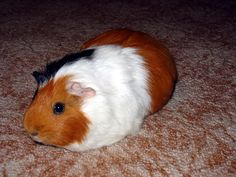 Here a long list types of guineapig in the world. #guineapig #typesofguineapig