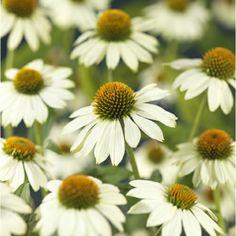 Solhatt, vit Flowers, Plants, Trees, Beer, Tree Structure, Plant, Royal Icing Flowers, Wood, Flower
