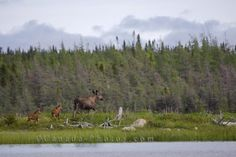 Picture of a cow moose and her two youngsters roaming through the wilderness in Main Brook, Newfoundland, Canada.