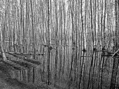 in April 2012 a fairly thick snowcover melted away quickly. One of the results is this pond with birch trees close to our home in Helsinki's Central Park. Birch Trees, Helsinki, Central Park, Pond, Photography, Water Pond, Photograph, Fotografie, Photoshoot