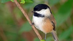 A black-capped chickadee gets its name from its call, which goes chick-a-dee-dee-dee. The more danger the bird is in, the more dees it adds to its chirp
