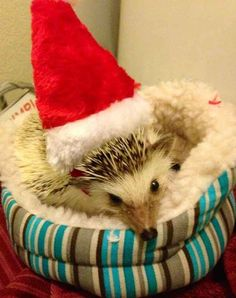Kritter, the festive hedgehog who makes Santa hats look cuter than ever before.