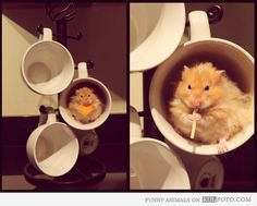Hamsters favorite place - Cute and funny hamster eating pasta while being comfortable in a cup.