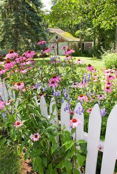 Backyard garden with pink Echinacea purple coneflowers, white picket fence, blue monkshood Aconitum, lawn, house building in summer flowers