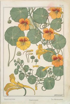 From NY Public Library digital collection  My favourite flower.