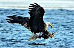 Bald Eagle by Jewels Johnson on Capture Wisconsin // Lunchtime!