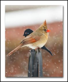 Snowy Cardinal by John Tucker on 500px