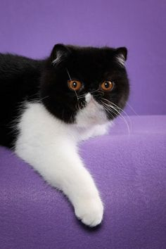 Exotic Shorthair ...hair lip kitty