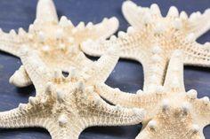 Etoiles de mer de 7,5 à 10 cm : Rhinoceros Blanche de 7,5 à 10 cm