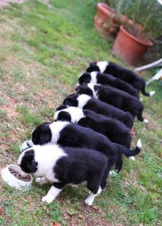 Border Collie Puppies, I want them all!