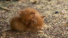 kitten love - I love golden tabbies.