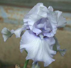 TB Iris germanica 'Born at Dawn' (Blyth, 1995)