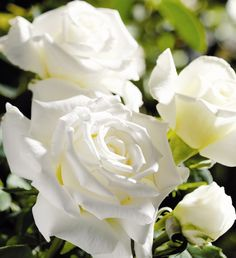 Perfumed Roses