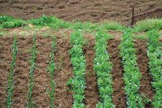 Η τεχνική της καλλιέργειας διάφορων φυτών στην ίδια περιοχή, με σκοπό τη βελτίωση της παραγωγής ορίζεται ως συγκαλλιέργεια.