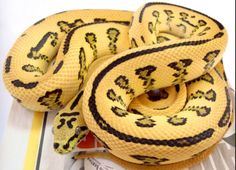 Image detail for -In captive breeding, the Irian Jaya can even look bright, banana . Scary Snakes, Poisonous Snakes, Beautiful Creatures, Animals Beautiful, Spider Frog, All About Snakes, Ball Python Morphs, Beautiful Snakes, Pet Snake