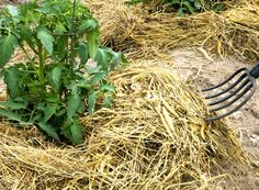 O metodă din popor: roșii crescute pe fân! Dacă aș fi aflat mai devreme despre ea… - Fasingur.eu Herbs, Plant, Lawn And Garden, Herb, Medicinal Plants