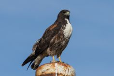 3489. White-tailed Hawk (Geranoaetus albicaudatus)   found in tropical or subtropical environments across the Americas