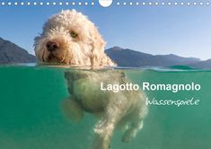 Lagotto Romagnolo Wasserspiele CALENDAR/ Europe version Wuffclick-pic premiere with half-underwater photos. A must have! Unusual Dog Breeds, Beautiful Dog Breeds, Beautiful Dogs, Funny Dog Toys, Best Dog Toys, Lagotto Romagnolo, Little Dogs, Shepard Dog Breeds, Modern Dog Toys