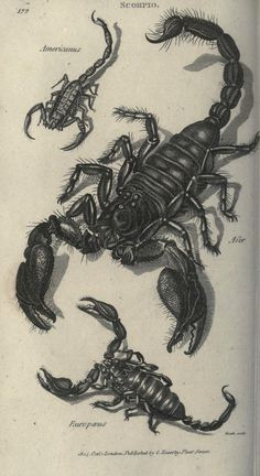 American, Asian, and European Scorpions, an illustration from Zoological lectures delivered at the Royal Institution by George Shaw (1751–1813), London, Kearsley, 1809