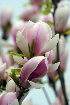 ~~Japanese Magnolia by reginald_dlani~~