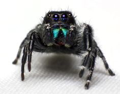 Beautiful Jumping Spider by Jeremy Carter Jumping Spider, Virtual Pet, Gems And Minerals, Science Nature, Bugs, Insects, Terrariums, Spiders, Snakes