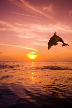 Bottlenose Dolphin (tursiops Truncatus) Jumping Out Of Water, Sunset I love dolphins.