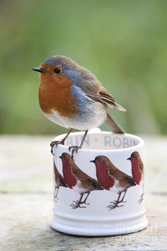 Robin Photograph - Robin Redbreast by Tim Gainey