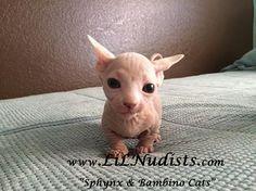 Bambino Kitten!