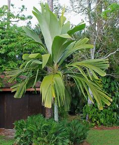 Pelagodoxa henryana by Paul Craft in Florida Pool Plants, Green Plants, Tropical Plants, Tropical Gardens, Florida Landscaping, Tropical Landscaping, Trees To Plant, Plant Leaves, Guava Tree