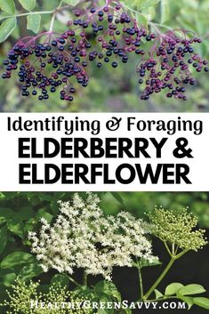 Elderberry Growing, Elderberry Plant, Elderberry And Elderflower, Edible Wild Plants, Herbs For Health, Flower Spray, Healing Herbs, Growing Herbs, Gardening For Beginners