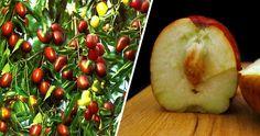 Εμείς στη Δύση έχουμε το ρητό «ένα μήλο την ημέρα το γιατρό τον κάνει πέρα», οι Ασιάτες το αποδίδουν στα Τζιτζίφια. Η Τζιτζιφιά –Ziziphus jujuba-.θεωρείται δέντρο με καταγωγή την Ασία που έχει εγκλιματιστεί στην Ελλάδα και σε άλλες παραμεσόγειες χώρες, άγνωστο πότε. Κάποτε τις συναντούσε κανείς πολύ συχνά στο λεκανοπέδιο,...