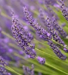 Provanszi levendula Lavandula x intermedia Grosso Flora, Plants, Gardens, Outdoor Gardens, Plant, Garden, House Gardens, Planets