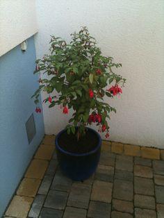 Fuchsien Plants, Garten, Flora, Plant, Planting