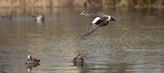 Male wigeon coming in for a landing, Vanier Park, Vancouver by Graeme Gibson