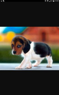 The Dog Parents – Gifts for your dog Very Cute Puppies, Cute Dogs, Cute Animal Pictures, Puppy Pictures, Cute Baby Animals, Animals And Pets, Cute Puppy Wallpaper, Cutest Puppy Ever, Cute Beagles