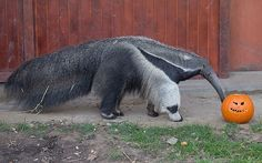 A giant anteater investigates a Halloween pumpkin in Budapest Zoo in Hungary