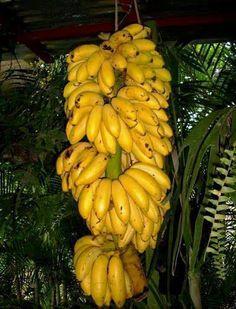 Guineos manzanos de El Salvador ~ love this smaller banana, taste is better than regular bananas!