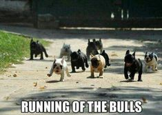 The Running of the French Bulldogs!!