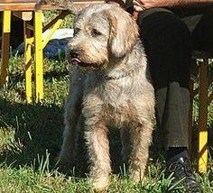 """Bosnian Coarse-haired Hound Dog """"Barak"""""""