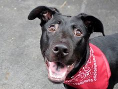 ~~TO BE DESTROYED 8/2/14~~ Manhattan Center -P  My name is BRONCO. My Animal ID # is A1007662. I am a male black labrador retr and chow chow mix. The shelter thinks I am about 9 MONTHS old.  I came in the shelter as a OWNER SUR on 07/22/2014 from NY 10452, owner surrender reason stated was LLORDPRIVA.