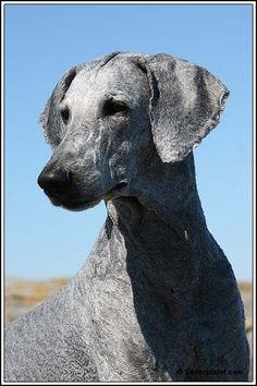 Oodles of Poodles — Shaved poodles! 1 | 2 | 3 | 4 | 5 | 6 | 7 | 8 | 9... #Poodle